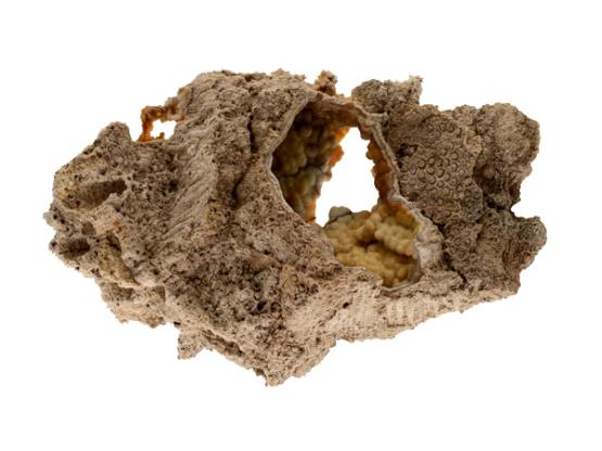 Versteend koraal (museum kwaliteit)